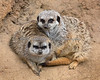 Here's a new little face (on the left) among the Meerkats!