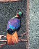 Here's the male Himalayan Monal (or Impeyan Pheasant)  Quite a contrast to the female!