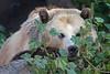 Kachina Camouflage!  (Grizzly Bear)