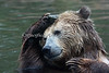When swimming in your pool, sometimes it's fun to put a rock on your head.  (Kachina, a Grizzly Bear)