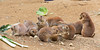 """The Lunch Crowd""  (Black-tailed Prairie Dogs)"