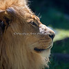 "Profile of ""Jahari"" (African Lion)"