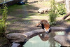 Red Panda, Tenzing, coming down for a drink.