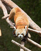 Red Pandas are great climbers.  (Tenzing)