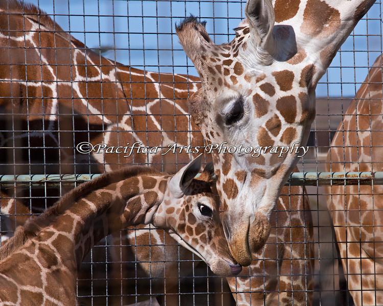 Reticulated Giraffe  - Barbro and her baby girl born 2/6/2014