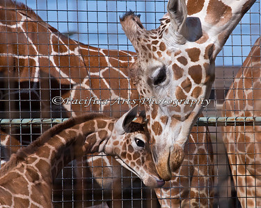 Reticulated Giraffe  - Barbro and her baby girl born 2/6/2014