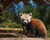 Tenzing starts in on his next branch of bamboo.  (Red Panda)