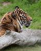 Sumatran Tiger, Larry.  This is Jillian's dad.