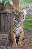 Jillian is waiting for you....(Sumatran Tiger - 16 months old)