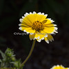 """Here's a pretty little flower called """"Tidy Tips"""" at Conservation Corner."""
