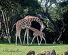 Baby comes over to Mom to nurse. (Reticulated Giraffes)