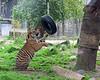 Jillian is having great fun playing with her hanging tire! (Sumatran Tiger)