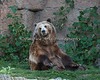 """Kiona (Grizzly Bear) playing """"touch your toes""""."""