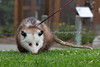 Here's the front side - its an Opossum!