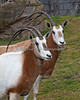 Scimitar-horned Oryx (females)
