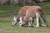 Teamwork!  (Red Kangaroos)
