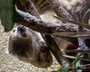 """Hard-boiled eggs - Yum!  (Linnaeus' Two-toed Sloth)"