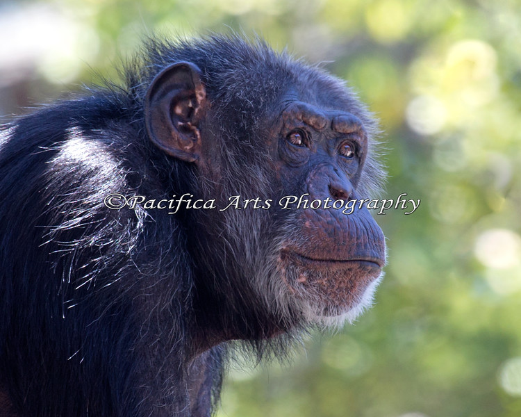 Chimpanzee, Minnie, has her eye on something.