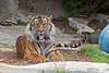 Sumatran Tiger, Larry