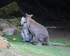 """I think you didn't was good enough!"", says Mom to her very large joey. (Bennett's Wallaby)"