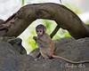 Baby Patas Monkey finds a seed pod.