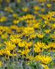 A field of daisy-like flowers near the billabong