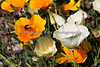 Conservation Corner - California Poppies & a Bumble Bee