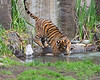 Here's Jillian playing with a ball in the pond. (Sumatran Tiger)