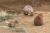 Baby Black-tailed Prairie Dog sharing lunch with a couple of adults.