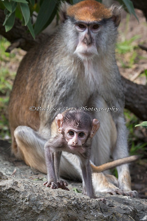 Baby is interested in everything!  (Patas Monkey, baby and Ginger)