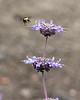 Bumble Bee near San Luis Purple Sage