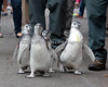 Baby Penguins, coming around the bend!  (Magellanic Penguins at the  March of the Penguins event)