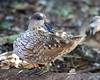 A young Marbled Teal.  She lives in the African Aviary.