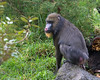 One of the female Mandrills