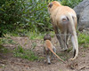Winnie and her baby talking a walk  (Patas Monkey)