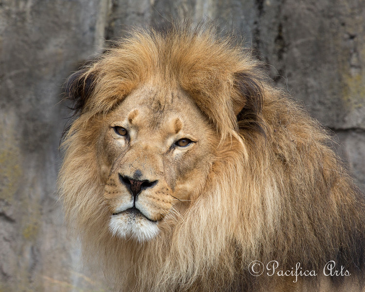 Jahari always makes a magnificent picture! (African Lion)