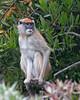 Patas Monkey, Emma