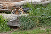 """You can't see me""  (Sumatran Tiger, Larry)"