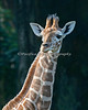 7 week-old female Reticulated Giraffe.