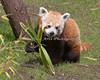 Red Panda, Tenzing, munching on bamboo.
