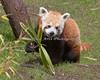 Red Panda, Tenzing, munching on bamboo.