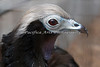 Blue-throated Piping Guan.  Yep, it's a bird!