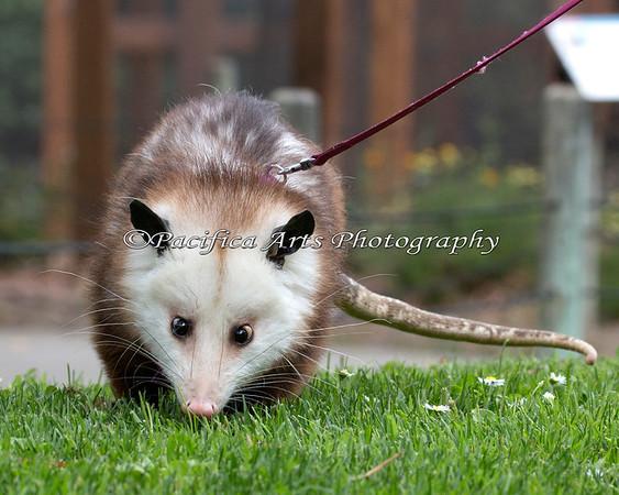 Waddle, waddle, waddle.  (Virginia Opossum)