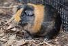 Guinea Pig!
