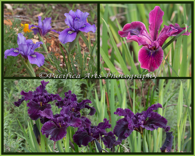 Three different varieties of Iris in the California Native garden at the San Francisco Zoo