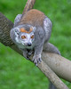 One of the new Crowned Lemurs