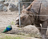 "Great One-horned Rhinoceros, ""Gauhati"" and his lunch buddy, the Peacock"