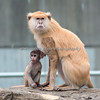 Winnie & her little one.  (Patas Monkeys)