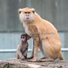 Winnie & her little one.  (Patas Monkeys)