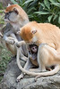 Winnie holding her little baby and Ginger (Patas Monkeys)